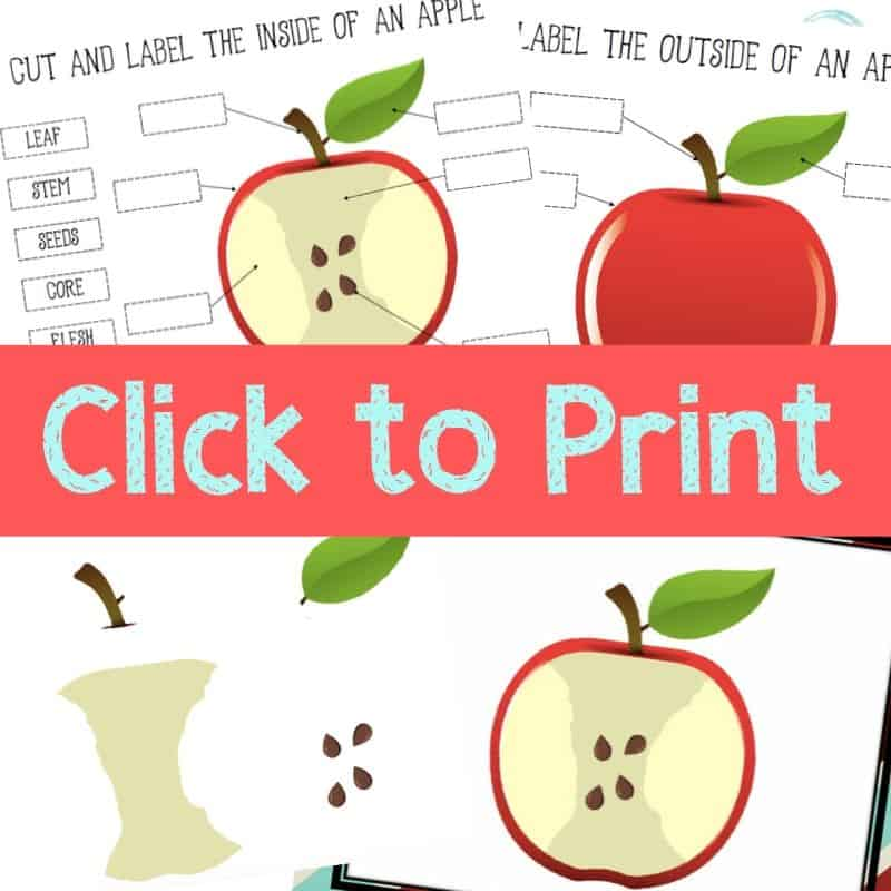 picture regarding Parts of an Apple Printable identified as Sections of an Apple Printable Apple Topic Craft - Opinions Versus a